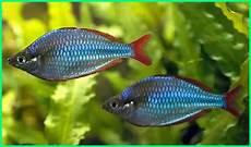 Gambar Ikan Hias Beserta Nama Latinnya