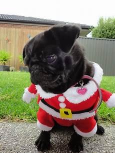 merry christmas pugs pug love puggle