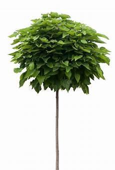 catalpa tree isolated on white stock photo image 32533354