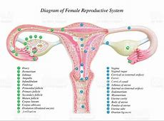 female reproductive system diagram worksheet