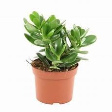 crassula ovata magical tree h 20 cm pot diam 232 tre 12 cm