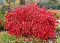 lace leaf japanese maple acer palmatum atropurpureum
