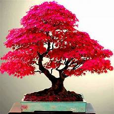 2019 real japanese ghost maple tree bonsai seeds acer