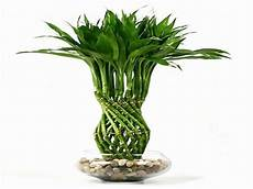 its easy to care your lucky bamboo plant