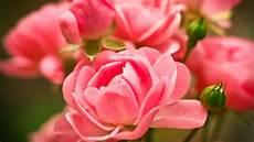 black garden 4k wallpaper wallpaper pink roses macro garden hd 4k flowers 3072