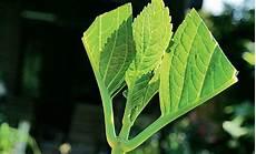 hortensie vermehren vermehrung selbst de