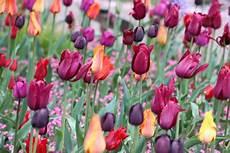 bl 252 tezeit tulpen im garten wann und wie lange bl 252 hen