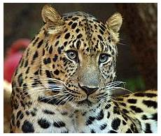 jaguar ou leopard panthera pardus