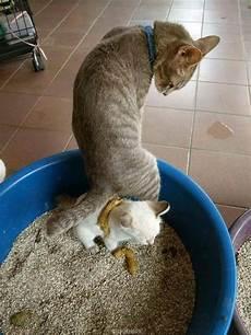 Un Chat Qui Fait Caca Sur Un Autre