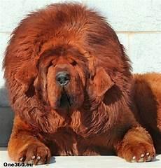 33 Best Tibetan Mastiff Dogue Du Tibet Images On