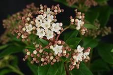 viburnum tinus winterhart schneeball viburnum tinus