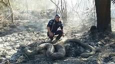 Gambar Besarnya Ular Mati Dek Kerana Kebakaran Hutan