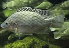 Gambar Budidaya Ikan Mujair Memulainya Berwirausaha Mujaer