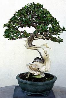 Bonsai Baum Kaufen - a bonsai tree in the house adds an and calming