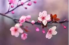 immagini di fiori da stare fiori di ciliegio significato caratteristiche quando e