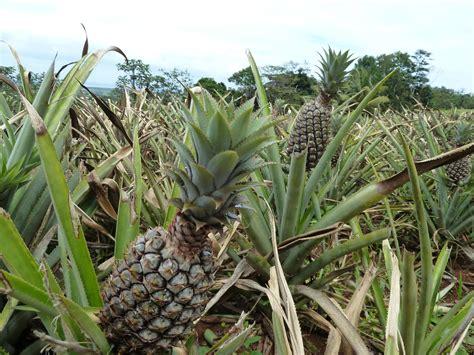 Champ D Ananas