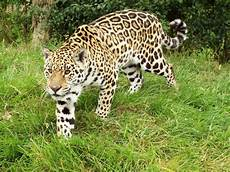 what is a jaguar called the new jaguar called looking beautiful