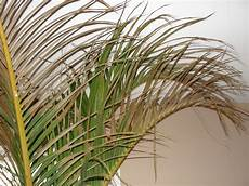 spindle palm tree problem ask an expert