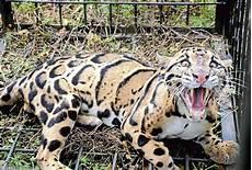 Khabarkini Harimau Dahan Makan 10 Kambing Dua Hari