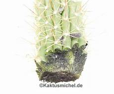 kakteen ohne samen vermehren kaktusnews
