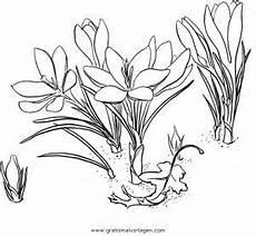 Malvorlagen Krus Ausdrucken Krocus 3 Gratis Malvorlage In Blumen Natur Ausmalen