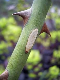 pflanze mit i stachel botanik wikiwand