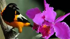 imagen de los simbolos naturales de venezuela el turpial y la orqu 237 dea fueron declarados como s 237 mbolos naturales un d 237 a como hoy en venezuela