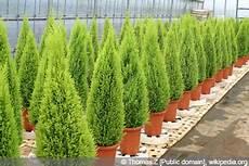 zypressen baum pflanzen pflege schneiden