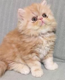 gatti persiani da adottare gatti persiani home
