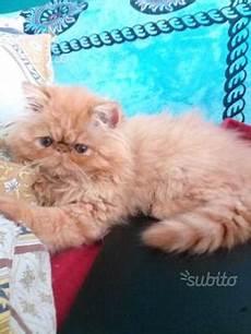 gattina persiana chihuahua ipertipica posot class