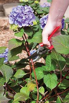 best planting pruning and hydrangea bush care tips