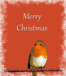 christmas card robin snowflakes free domain pictures