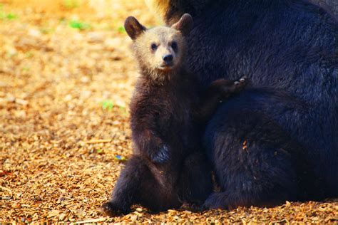 14 Pictures Of The Cutest Bear Cubs You'll Ever See