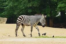 zebra bild zebra foto bild tiere natur bilder auf fotocommunity