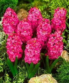 giacinto fiore acquista giacinti a fiore doppio hollyhock bakker