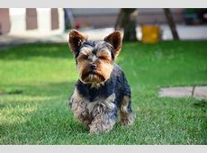50  Very Cute Yorkshire Terrier Puppy Pictures And Photos