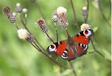 Ausmalbild Schmetterling Tagpfauenauge 31 Malvorlagen Schmetterlinge Zum Ausdrucken Besten