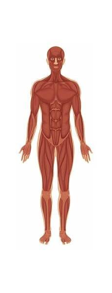 Anatomi Tubuh Manusia Mengenal Bagian Dan Sistem Organ