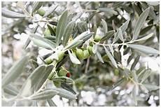 olivenbaum schneiden anleitung zur pflege