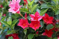 balkonpflanzen für pralle sonne pflanzen f 252 r die pralle sonne geeignete balkon und