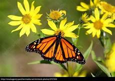 Malvorlagen Schmetterling Xing Monarch Schmetterling Danaus Plexippus Auf Woodland