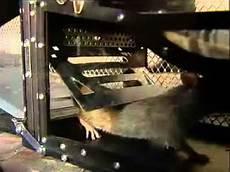 wie wird mäuse los grosse lebendfalle rattenfalle mausefalle fuer mehr als 7
