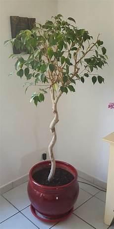 Taille Ficus Benjamina Spirale Au Jardin Forum De Jardinage
