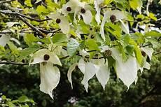 Taschentuchbaum Oder Taubenbaum Davidia Involucrata