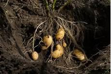 anbau kartoffeln anleitung zum kartoffelanbau