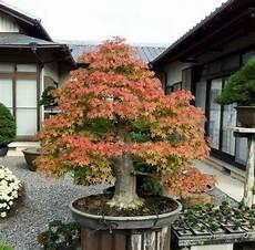 erable nain du japon 201 rable du japon nain conseils de plantation et d entretien