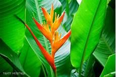heliconia psittacorum le bec de perroquet tahiti heritage