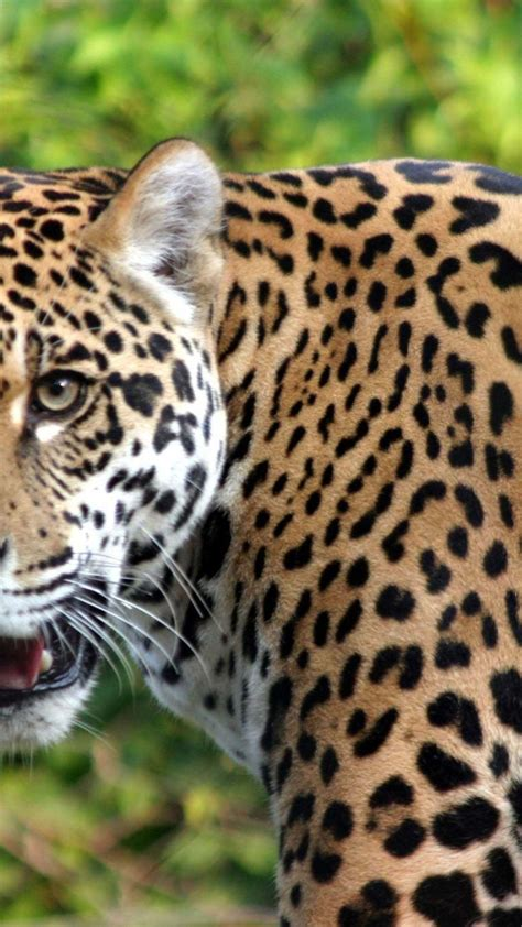 Jaguar Animal Iphone Wallpaper - 13 best 2014 iphone 6 plus wallpaper animal images on