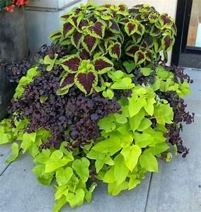 The 25+ best Potato vine planters ideas on Pinterest ...