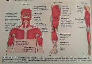 Chapter 15  Musculoskeletal System